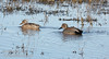 A pair of Gadwalls (ducks) swimming (female  on left, male in breeding colors on right) (1/19/2013, Sacramento National Wildlife Refuge)
