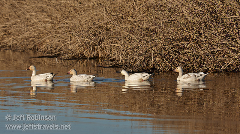 Snow Geese swimming in front of the dry reeds. (1/19/2013, Sacramento National Wildlife Refuge)