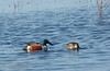 A pair of Northern Shovelers (ducks) swimming and feeding in the blue water. The male has the dark green head.  (1/19/2013, Sacramento National Wildlife Refuge)
