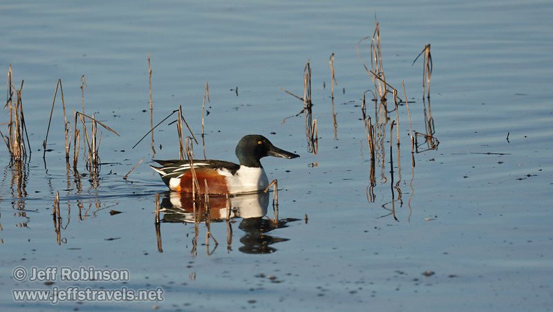 A male Northern Shoveler duck swimming. (1/19/2013, Sacramento National Wildlife Refuge)