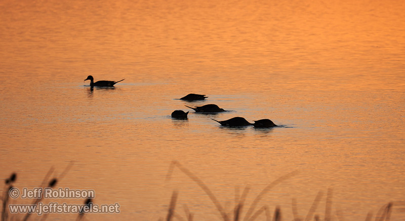 Silhouettes of pintail ducks in the water that is reflecting sunset color. (1/19/2013, Sacramento National Wildlife Refuge)