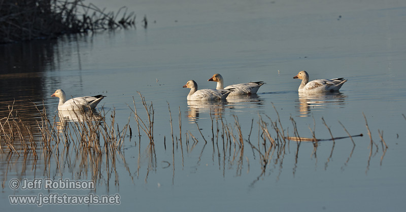 Snow Geese swimming. (1/19/2013, Sacramento National Wildlife Refuge)