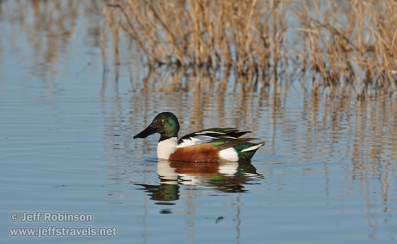 A male Northern Shoveler (dark-green head similar to a male mallard, but with a wider beak and white breast) swimming with its reflection in the water (1/19/2013, Sacramento National Wildlife Refuge)