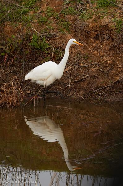 A Great Egret (1/10/2015, Sacramento National Wildlife Refuge)<br />  @ 191mm f8 1/640s ISO800