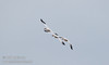 3 Snow Geese in flight (1/10/2015, Sacramento National Wildlife Refuge)<br />  @ 600mm f8 1/800s ISO1600