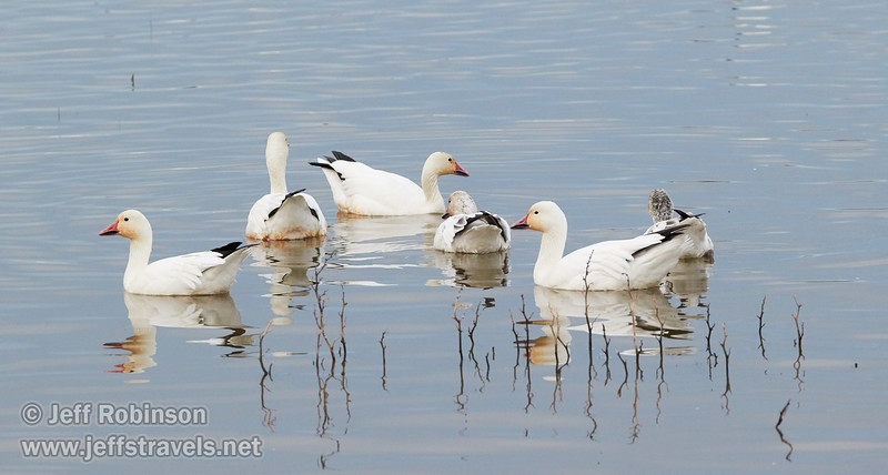 Snow Geese (grayish ones are juveniles) (1/10/2015, Sacramento National Wildlife Refuge)<br />  @ 226mm f7 1/500s ISO2500