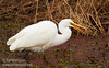 A Great Egret eating something (crayfish?) (1/10/2015, Sacramento National Wildlife Refuge)<br />  @ 300mm f8 1/640s ISO800