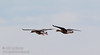 A pair of White-fronted Geese coming in for a landing (1/10/2015, Sacramento National Wildlife Refuge)<br />  @ 500mm f8 1/800s ISO1600