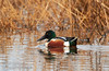 Northern Shoveler (1/10/2015, Sacramento National Wildlife Refuge)<br />  @ 600mm f8 1/250s ISO800