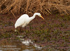 A Great Egret hunting (1/10/2015, Sacramento National Wildlife Refuge)<br />  @ 273mm f8 1/320s ISO800