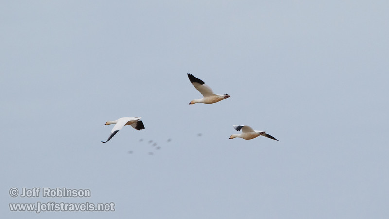 3 Snow Geese in flight (1/10/2015, Sacramento National Wildlife Refuge)<br />  @ 552mm f8 1/1000s ISO1600