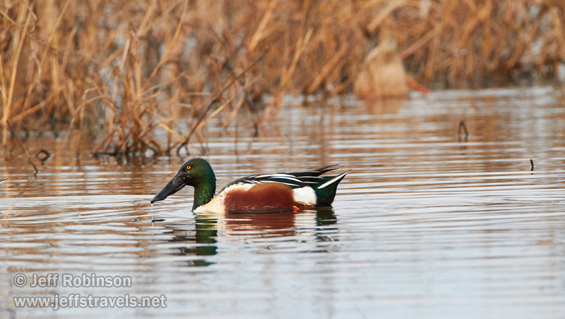 Northern Shoveler (1/10/2015, Sacramento National Wildlife Refuge)<br />  @ 600mm f8 1/500s ISO800
