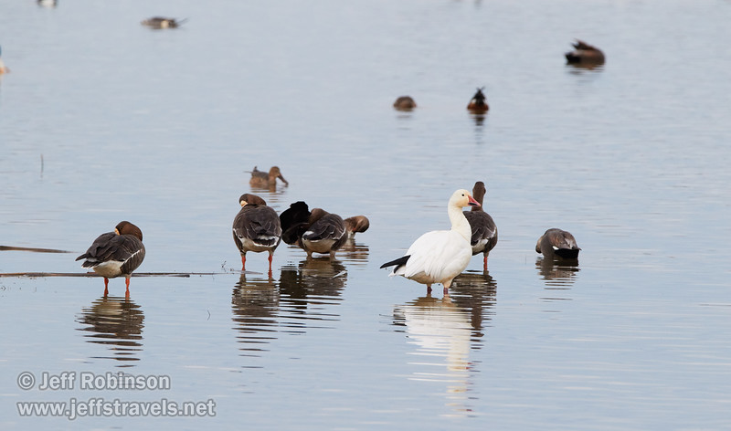 One Snow Goose in front of a bunch of White-fronted Geese (1/10/2015, Sacramento National Wildlife Refuge)<br />  @ 428mm f8 1/640s ISO1600