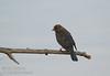 Possibly Brewer's Blackbird (1/10/2015, Sacramento National Wildlife Refuge)<br />  @ 600mm f7 1/500s ISO2500