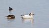 A Snow Goose (white bird) (1/10/2015, Sacramento National Wildlife Refuge)<br />  @ 483mm f8 1/640s ISO1600