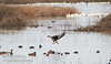 A White-fronted Goose coming in for a landing (1/10/2015, Sacramento National Wildlife Refuge)<br />  @ 600mm f8 1/500s ISO1600