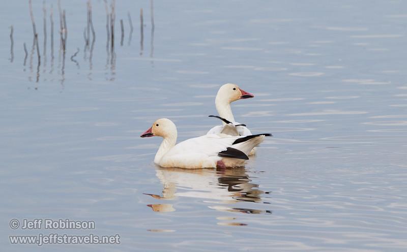 Snow Geese (1/10/2015, Sacramento National Wildlife Refuge)<br />  @ 483mm f8 1/640s ISO1600