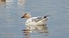 Juvenile Snow Goose (1/10/2015, Sacramento National Wildlife Refuge)<br />  @ 600mm f7 1/500s ISO2500