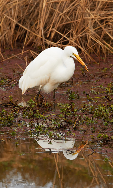 A Great Egret eating something (crayfish?) (1/10/2015, Sacramento National Wildlife Refuge)<br />  @ 400mm f8 1/400s ISO800