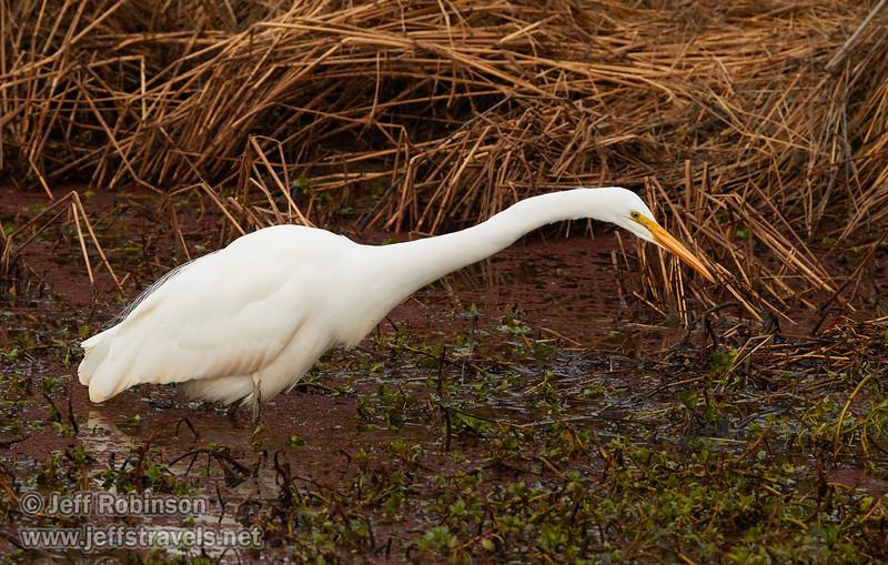 A Great Egret hunting (1/10/2015, Sacramento National Wildlife Refuge)<br />  @ 309mm f8 1/640s ISO800
