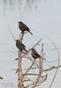 Possibly Brewer's Blackbird (1/10/2015, Sacramento National Wildlife Refuge)<br />  @ 428mm f8 1/640s ISO2500