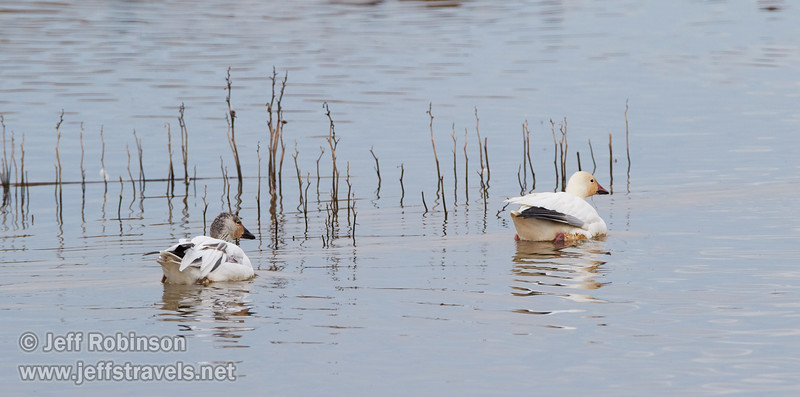 Snow Geese (juvenile on left, adult on right) (1/10/2015, Sacramento National Wildlife Refuge)<br />  @ 428mm f8 1/640s ISO1600