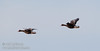 A pair of White-fronted Geese flying (1/10/2015, Sacramento National Wildlife Refuge)<br />  @ 500mm f8 1/800s ISO1600