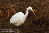 A Great Egret hunting (1/10/2015, Sacramento National Wildlife Refuge)<br />  @ 400mm f8 1/640s ISO800