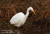 A Great Egret hunting (1/10/2015, Sacramento National Wildlife Refuge)<br />  @ 400mm f8 1/640s ISO800