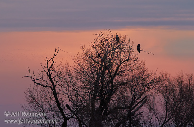 An adult (white head) and juvenile (brown head) bald eagle in a tree (1/10/2015, Sacramento National Wildlife Refuge)<br />  @ 450mm f9 1/60s ISO400
