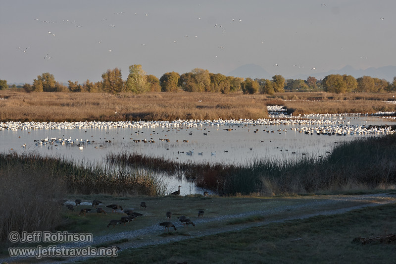 A flock of birds (mostly white Snow Geese) out in the water, with White-Fronted Geese in the shade in the foreground (grey birds with pinkish bills). (11/10/2012, Sacramento National Wildlife Refuge)