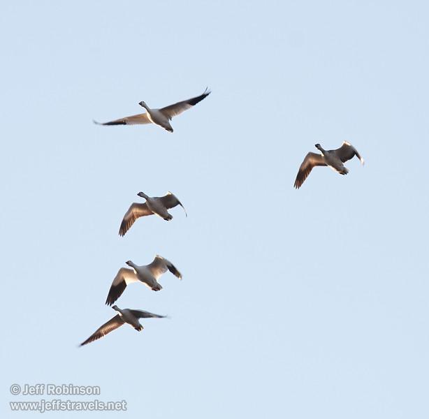 A flock of backlit white Snow Geese flying against the blue sky. (11/10/2012, Sacramento National Wildlife Refuge)