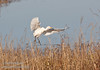 A Cattle Egret landing. (11/10/2012, Sacramento National Wildlife Refuge)
