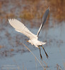 A Cattle Egret flying away. (11/10/2012, Sacramento National Wildlife Refuge)