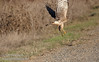 A raptor (possibly a female Northern Harrier) taking off from the side of the road. (11/10/2012, Sacramento National Wildlife Refuge)