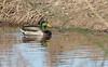 Male Mallard Duck swimming in the water (11/10/2012, Sacramento National Wildlife Refuge)
