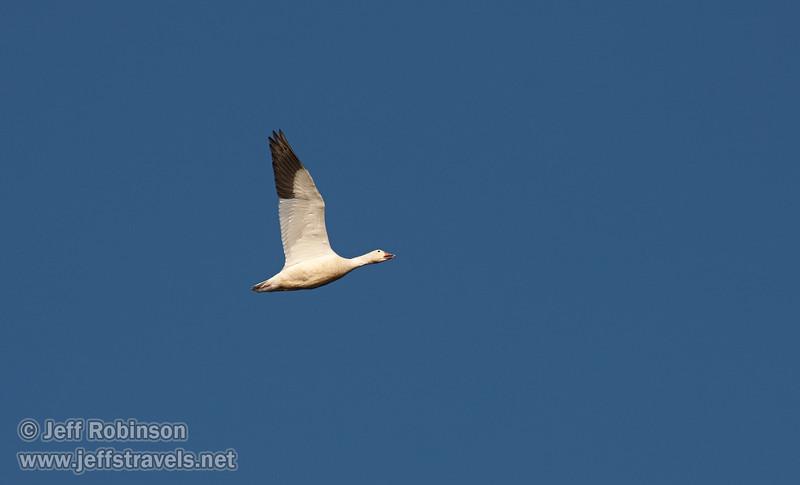 A Snow Goose flying against the deep blue sky. (11/10/2012, Sacramento National Wildlife Refuge)