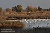 A flock of birds (mostly white Snow Geese) out in the water. (11/10/2012, Sacramento National Wildlife Refuge)
