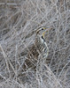 A Meadowlark in dry grass in the shade. (11/10/2012, Sacramento National Wildlife Refuge)