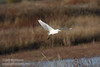 A Cattle Egret flying low over the grassland.(11/10/2012, Sacramento National Wildlife Refuge)