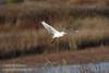 A Cattle Egret flying low over the grassland.(11/10/2012, Sacramento National Wildlife Refuge)