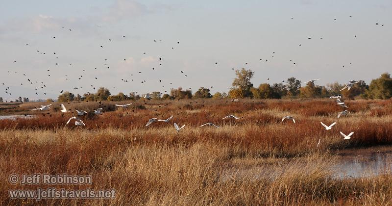 A flock of Cattle Egret flying over the marshland. (11/10/2012, Sacramento National Wildlife Refuge)