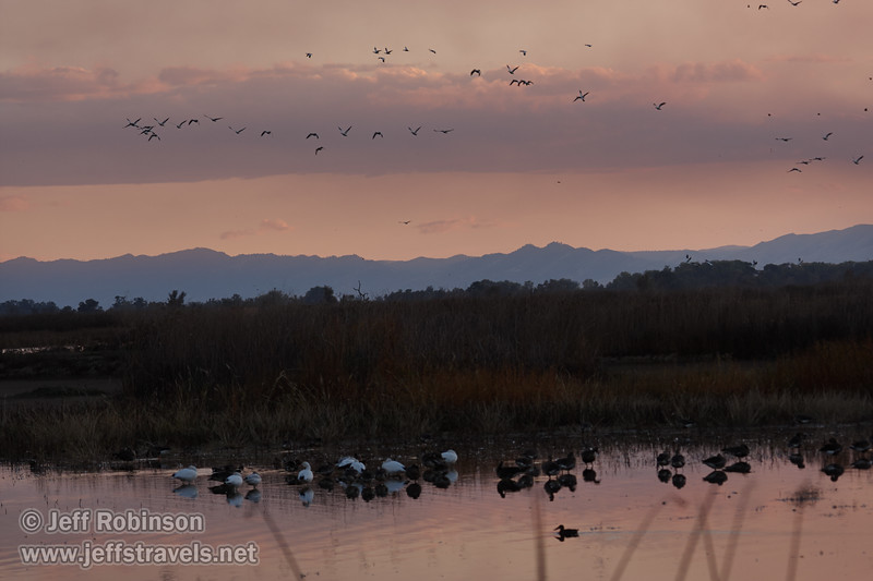 Geese in the water at sunset, with a lot more flying in the sky. (11/10/2012, Sacramento National Wildlife Refuge)