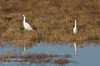 A Snowy Egret on the left, and a Cattle Egret on the right. Both are similar size, but the Snowy Egret has a black bill, while the Cattle Egret has a shorter yellow bill. (The Great Egret, not seen here, is larger and has a much longer beak than the Cattle Egret, but otherwise has similar coloring.) (11/10/2012, Sacramento National Wildlife Refuge)