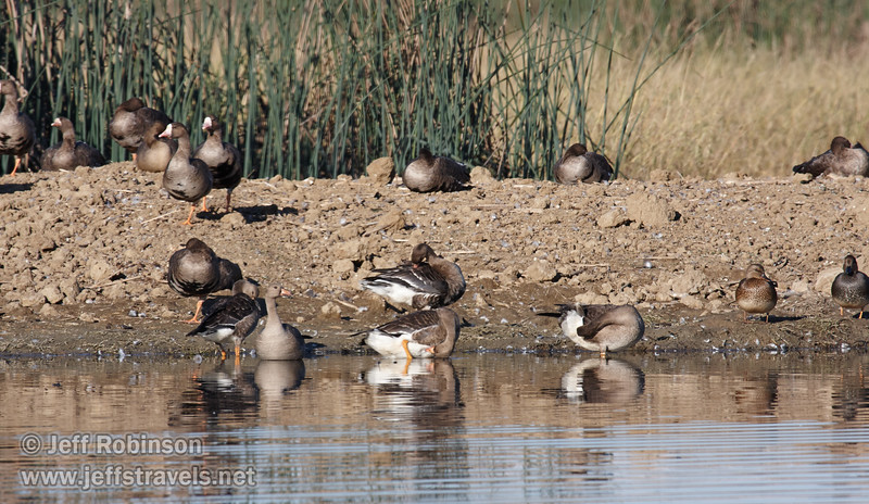 White-faced Geese and a couple ducks on a bare island. (11/10/2012, Sacramento National Wildlife Refuge)