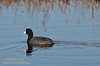 An American Coot (black bird with white beak and red eyes) swimming in the water. (11/10/2012, Sacramento National Wildlife Refuge)