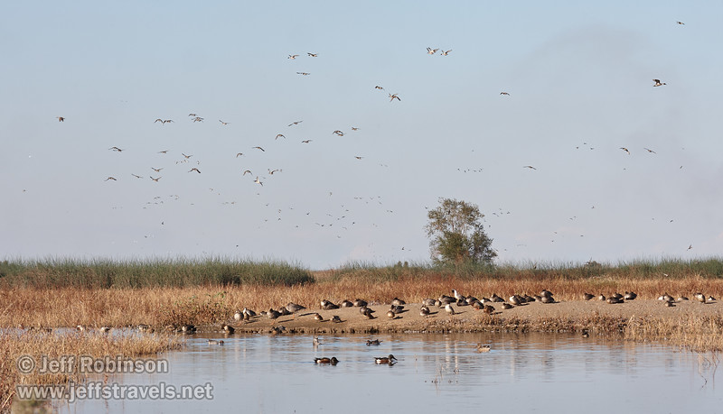 A flock of ducks resting on an island, with many other water fowl flying in the sky. (11/10/2012, Sacramento National Wildlife Refuge)