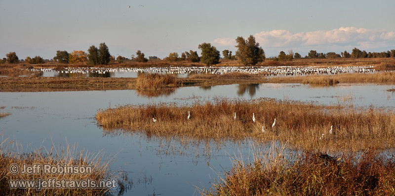 A flock of Cattle Egret feed in the grass in the foreground, with a huge quantity of geese (mostly white Snow Geese) in the background. (11/10/2012, Sacramento National Wildlife Refuge)