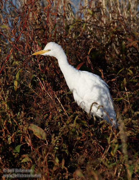 Cattle Egret in the grass and weeds. (11/10/2012, Sacramento National Wildlife Refuge)