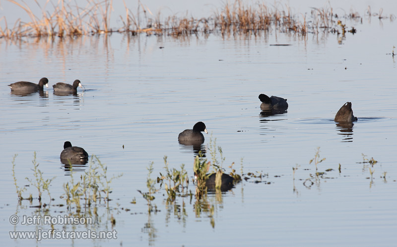 A flock of American Coots (black bird with white beak and red eyes) swimming in the water. (11/10/2012, Sacramento National Wildlife Refuge)